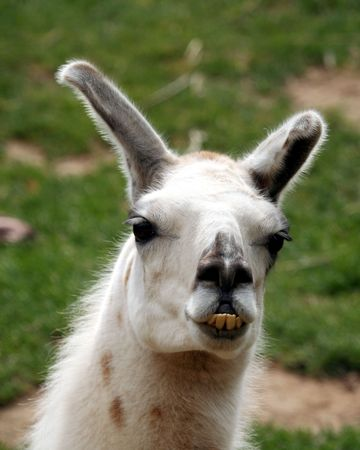 cleft: A Llama, a South American Animal Used for Fur and as a Pack Animal