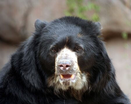 tree dweller: A South American Spectacled Bear, Mountain Dweller and Tree Climber