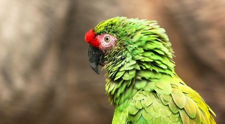 A Close Up of a Green South American Military Macaw photo