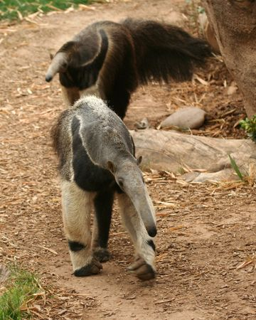 A Pair of Giant Anteaters of Central and South America, Myrmecophaga tridactyla