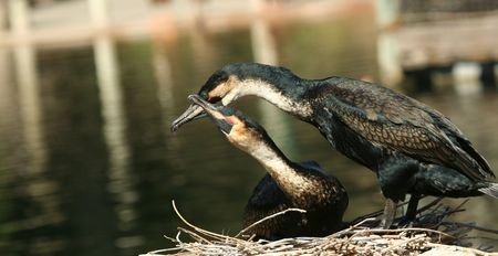 phalacrocoracidae: A Pair of Nesting Cormorants Show Affection By the Water