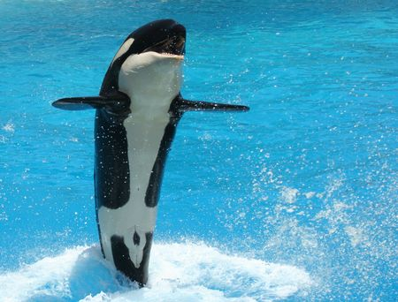 A Young Killer Whale Tail Walks Across the Water Stock Photo