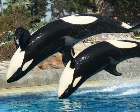 BACKFLIP: A Mother Orca and Her Calf do a Backflip Together