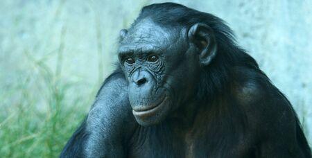 chimpances: Un Close Up retrato de un chimpancé Bonobo