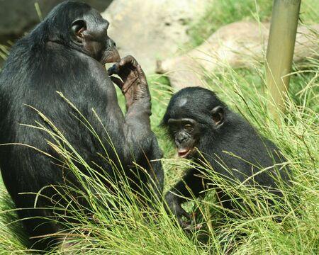bonobo: Un chimpanc� Bonobo de madre y su beb� en el Sunshine