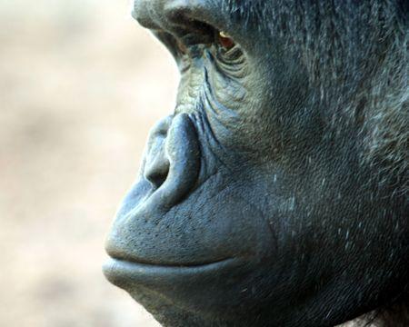 chimpances: Un acercamiento perfil de un chimpancé Bonobo
