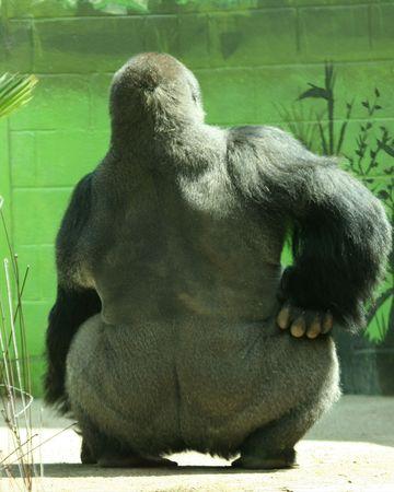 A Big Silver Back Gorilla in a Huff