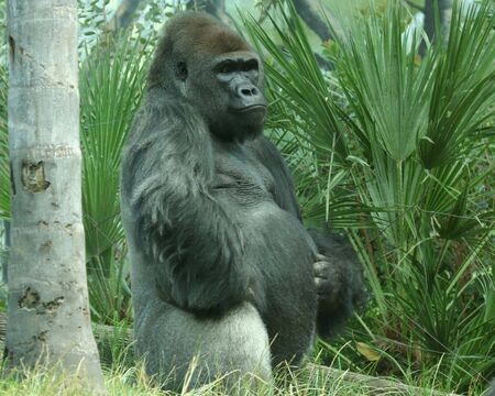 A Sedate and Stately Silver Back Gorilla Stock Photo - 5485863