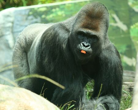 abdomen yellow jacket: A Silver Back Gorilla with a Piece of Carrot in His Mouth