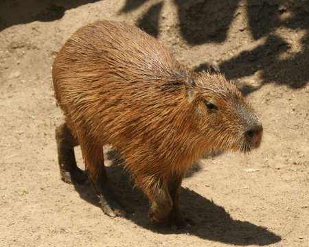 pelage: A Capybara, Hydrochoerus, the Largest Living Rodent from South America