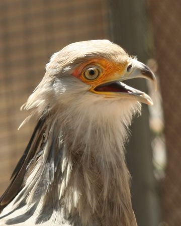 nostril: A Secretary Bird, Sagittarius serpentarius, from the African Savannah Stock Photo