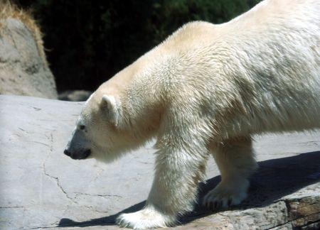 A Polar Bear Walks Along a Rocky River Bank photo