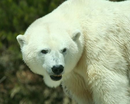 A Head and Shoulders Shot of a an Adult Polar Bear