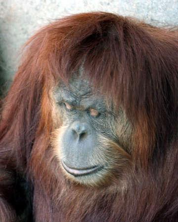 downcast: A Female Orangutan with a Downcast Gaze
