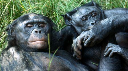 bonobo: Una pareja de chimpanc� Bonobo Holding de manos y pies Lying en la hierba  Foto de archivo