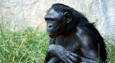 A Close Up Portrait of a Bonobo Chimpanzee  Stock Photo - 5649668