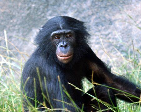 bonobo: Un retrato de un joven chimpanc� Bonobo en la hierba  Foto de archivo