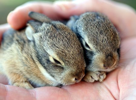 leporidae: A Pair of Baby Cottontail Rabbits Rest in a Single Human Hand