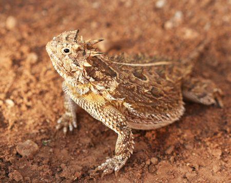 horned: Un lagarto cornudo de Texas, Phrynosoma cornutum, tambi�n conocido como Horny Toad