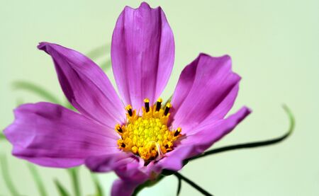 compositae: A Cosmos Flower, Leucampyx, Sunflower Family (Compositae) Stock Photo