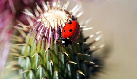 An Orange Ladybird Beetle on a Spiny Thistle Stock Photo - 7140993