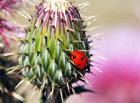 An Orange Ladybird Beetle on a Spiny Thistle Stock Photo - 7140996