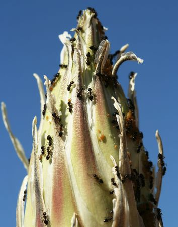 coexist: Ants, Aphids and Mites Coexist on the End of a Yucca Stalk