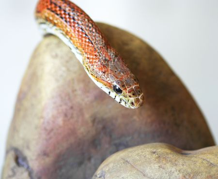 colubridae: An Orange Corn Snake Slithers Over a Rock