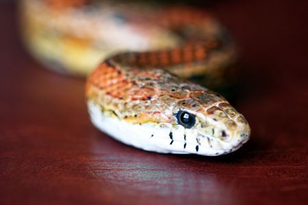 colubridae: An Orange Corn Snake Slithers Across Red Leather