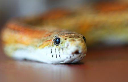corn yellow: Un Slithering naranja y amarillo Corn Snake Close Up  Foto de archivo