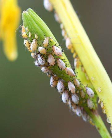 Aphids Congregate in Considerable Numbers on the Stems of a Plant Stock Photo