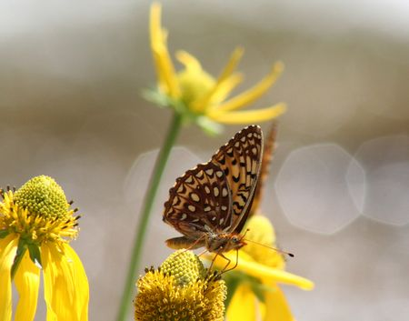 A fritillary butterfly settles to feed on a mules ear sunflower with sun sparkles cast by a Rocky Mountain creek in Colorado in the background.
