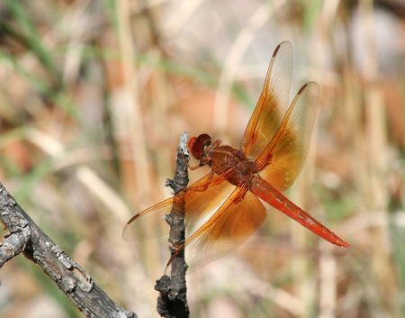 anisoptera: A Large Orange Dragonfly Perches on a Dead Branch