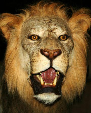 A Close Up Portrait of a Male Lion photo