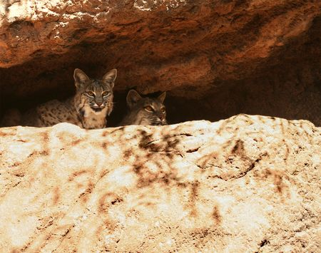 eyes cave: A Pair of Bobcats Peer Down from Their Den on a Cliff Ledge