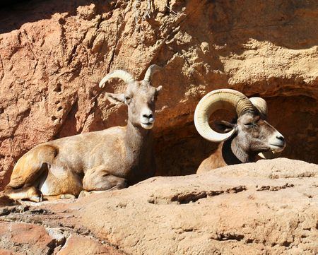 mated: A Mated Pair of Bighorn Sheep Rest on a Cliff
