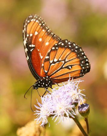 fiori di campo: Una farfalla vicer�, un monarca mimic, feed su una Wildflower