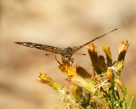 lepidopteran: A Close Up of a Butterfly Tongue Feeding on a Wildflower