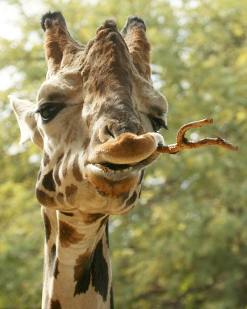 A Portrait of an African Giraffe Chewing on a Stick Banque d'images