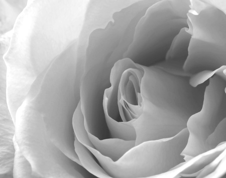 A Close Up White Rose Blossom in Black and White