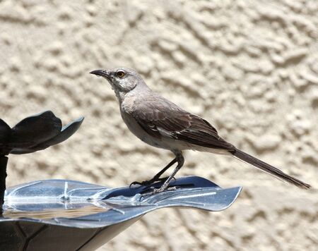 A Thirsty Northern Mockingbird with Water Running Down its Throat photo