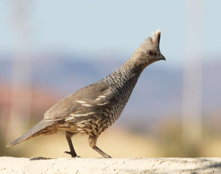 scaled: A Scaled Quail Perched on a Stucco Wall Stock Photo