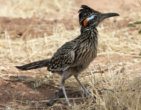 A Greater Roadrunner, in the Cuckoo Family, Cuculidae Stock Photo