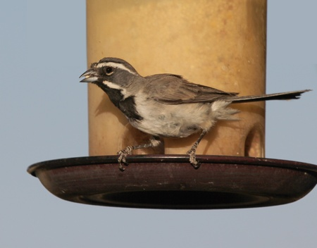 bilineata: A Black-throated Sparrow Perches on a Bird Seed Feeder