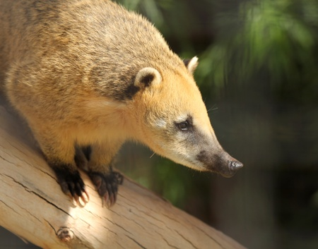 A Coati, Family Procyonidae, with Golden Fur Perched on a Log