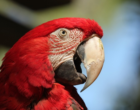 A Scarlet Macaw, Ara macao, Native to the American Tropics Stock Photo