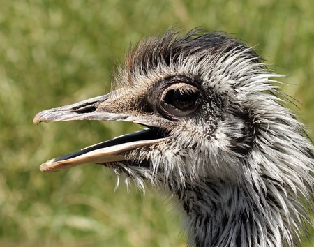nostrils: A Close Up of the Head of a Rhea, Native to South America Stock Photo