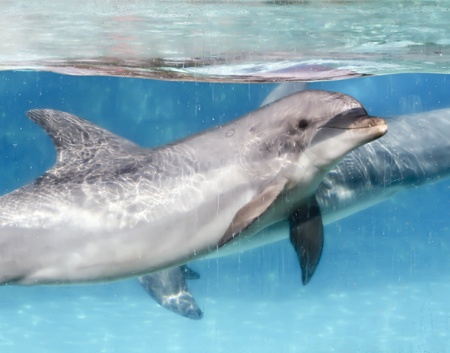 cetacean: A Bottlenosed Dolphion Swims with a Companion in a Transparent Tank Stock Photo