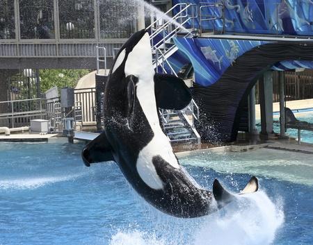 performs: Una grande balena Killer maschio esegue in un parco marino Visualizza Archivio Fotografico