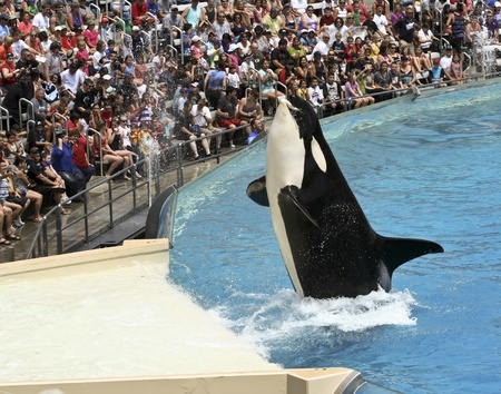 San Diego, California - July 19: SeaWorld on July 19, 2011, in San Diego, California. A Killer Whale Catches a Fish in Front of a Delighted Crowd in a Marine Park Show.